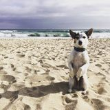 Vovve på strandtiggerin Royaltyfria Foton