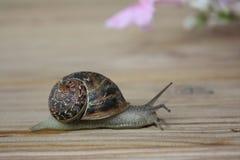 Voyage d'escargots Image libre de droits