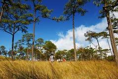 Voyageant dans la forêt de pin, Uttaradit, Thaïlande Photographie stock