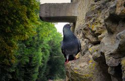 Voyeur Pidgeon. Pidgeon standing on the castle entry looking at the tourists walking by. France - Loire stock photo