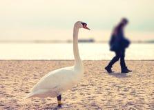 Voyeur swan. Curious swan watching couple on the beach Stock Photo