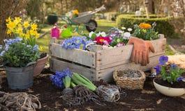 Vår: Arbeta i trädgården i höst med blommor av primulan, hyacint Arkivbilder