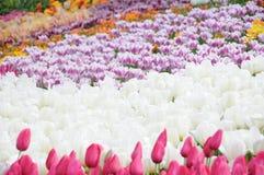 Vår Tulip Flower Royaltyfri Fotografi