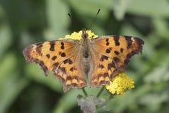 Vraag Mark Butterfly Royalty-vrije Stock Afbeeldingen
