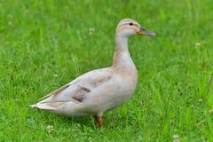 Vrai canard femelle Photos libres de droits