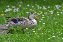 Vrai canard femelle Photographie stock