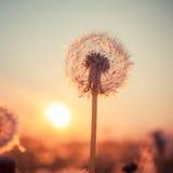 Vrai champ et pissenlit au coucher du soleil photo libre de droits