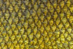 Vrai fond d'échelles de poissons de tanches Photos stock