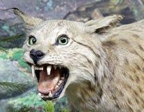 Vrai lynx bourré Images libres de droits