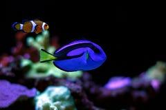 Vrai Nemo et doris dans l'aquarium de récif Images stock