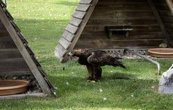 Vraie fauconnerie d'Eagle image libre de droits