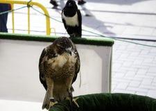 Vraie fauconnerie d'Eagle photos stock