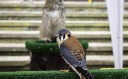 Vraie fauconnerie d'Eagle photo libre de droits