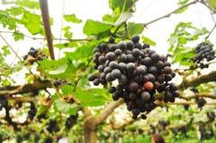 Vrais milieux pourpres organiques de légumes de pamplemousse photo libre de droits
