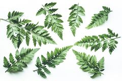 Vrais milieux tropicaux de feuilles sur le blanc Concept botanique de nature Images stock