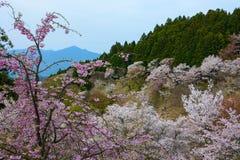 Vårblommalandskap på Yoshino Mountain i Japan med en rosa gråta körsbär i förgrunden Arkivfoto