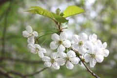 Vårblomningbakgrund, härliga vita blommor Friskhet, doft och mjukhet Fotografering för Bildbyråer