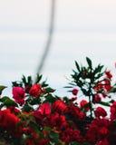 ?vre f?r t?ta blommor f?r sk?nhet naturligt rosa rose arkivbild