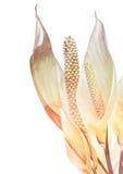 Vrede lilly met geweven gevolgen Stock Afbeelding