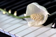 Vrede Lily Flower op Toetsenbord royalty-vrije stock afbeeldingen