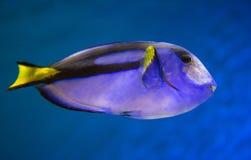 Vreedzaam Blauw Tang Fish Royalty-vrije Stock Afbeelding