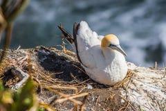 Vreedzaam jan-van-gent op het nest Royalty-vrije Stock Foto