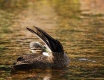 Vreedzaam Zwart Duck Preening stock afbeelding