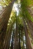 Vreedzame Californische sequoia's Stock Foto's