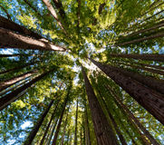 Vreedzame Californische sequoia's Stock Afbeelding