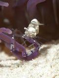Vreedzame Clown Anemone Shrimp Royalty-vrije Stock Afbeeldingen