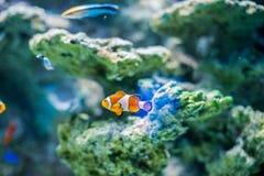 Vreedzame Clown Fish op koraalachtergrond royalty-vrije stock afbeeldingen