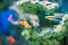 Vreedzame Clown Fish op koraalachtergrond stock foto