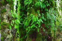 Vreedzame de esdoornboom van het Noordwesten bos en Grote blad stock afbeelding