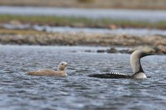 Vreedzame Duiker of Vreedzame Duiker met een jong kuiken in noordpoolwateren stock afbeeldingen