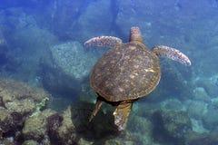 Vreedzame groene overzeese schildpad Stock Afbeeldingen