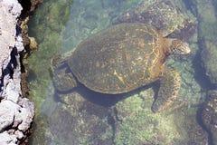 Vreedzame groene overzeese schildpad Stock Fotografie