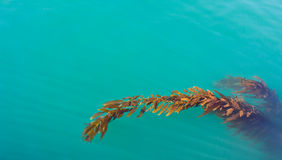 Vreedzame Kelp royalty-vrije stock afbeelding