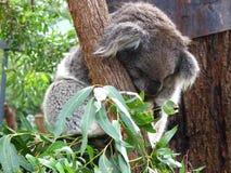 Vreedzame koala Stock Foto's