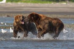 Vreedzame Kust Bruine arctos die van berenusus grizzliy - vechten - royalty-vrije stock afbeeldingen