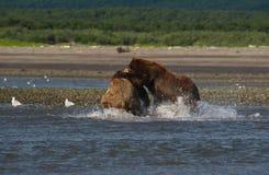 Vreedzame Kust Bruine arctos die van berenusus grizzliy - vechten - stock foto's