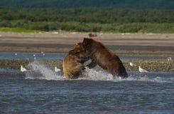 Vreedzame Kust Bruine arctos die van berenusus grizzliy - vechten - royalty-vrije stock fotografie