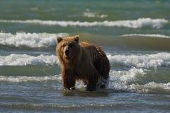 Vreedzame Kust Bruine grizzliy arctos van berenusus - - op KE royalty-vrije stock afbeeldingen