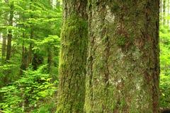 Vreedzame Noordwesten bos en Zilveren sparren Stock Fotografie