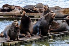 Vreedzame Noordwestenzeeleeuwen en Verbindingen stock afbeeldingen