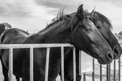 Vreedzame Paarden Royalty-vrije Stock Foto's