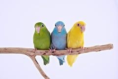 Vreedzame Papegaai Stock Afbeelding