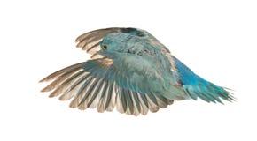 Vreedzame Parrotlet, Forpus coelestis, het vliegen Stock Foto's