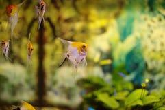 Vreedzame tropische vissen stock afbeeldingen