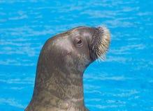 Vreedzame walrus Royalty-vrije Stock Afbeeldingen