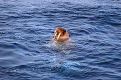 Vreedzame Walrussen: Rosmarus van Odobenus Royalty-vrije Stock Foto